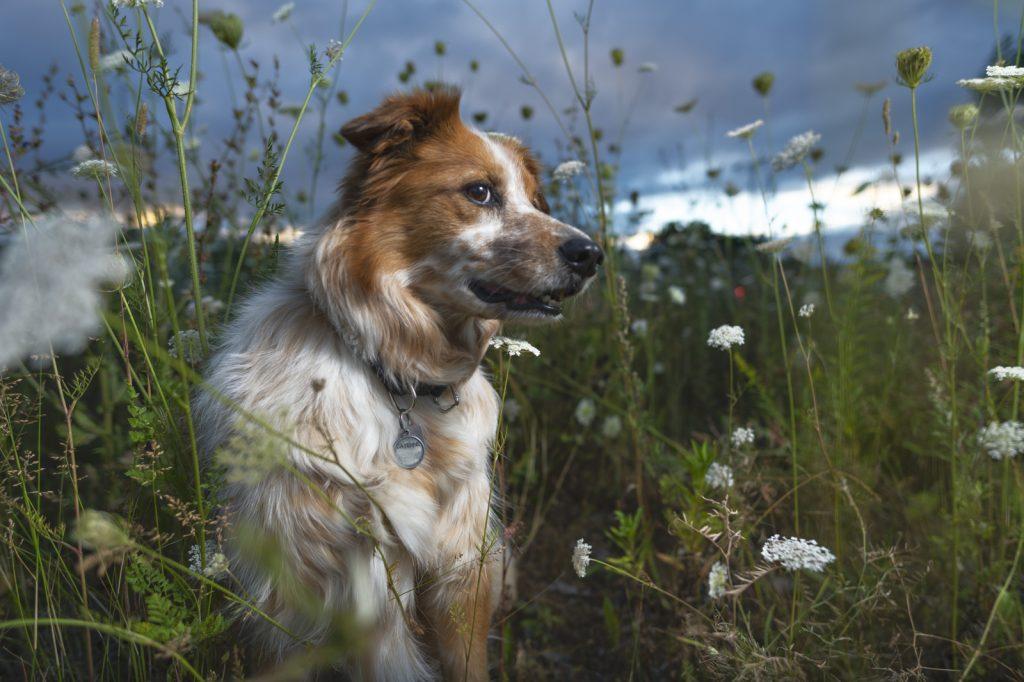 Portrait de chien - Ville de Québec